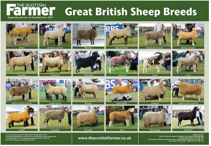 great-british-sheep-poster
