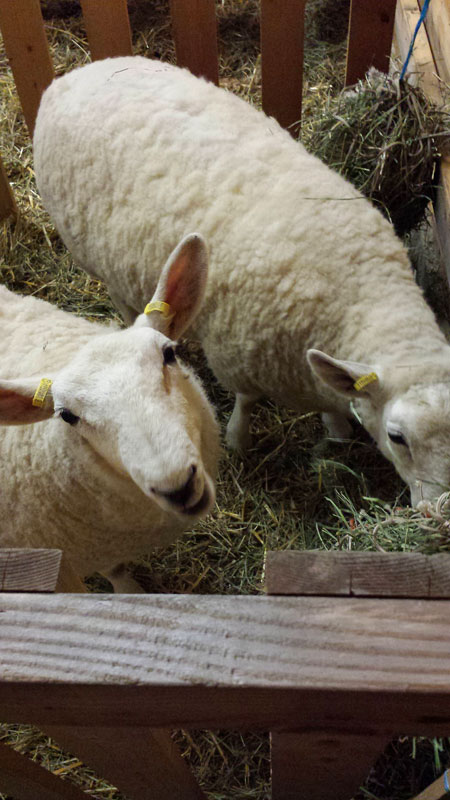 Displaying Cheviot Sheep in Duncan