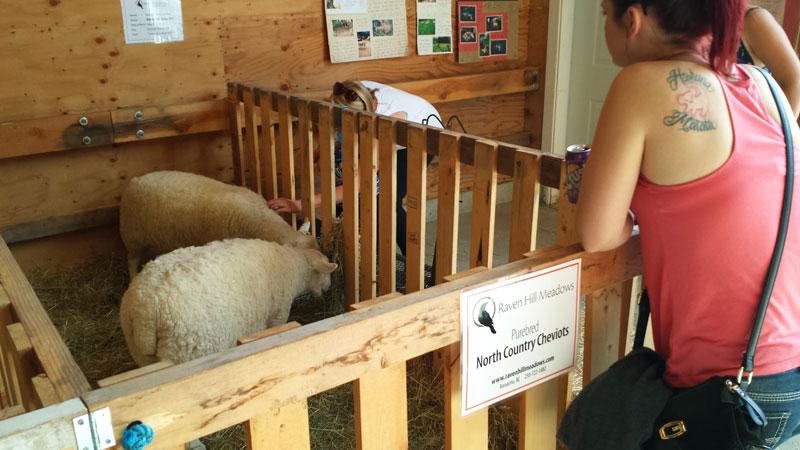 petting-lambs